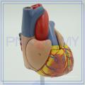 PNT-0400 Modèle d'anatomie du coeur 3D personnalisé
