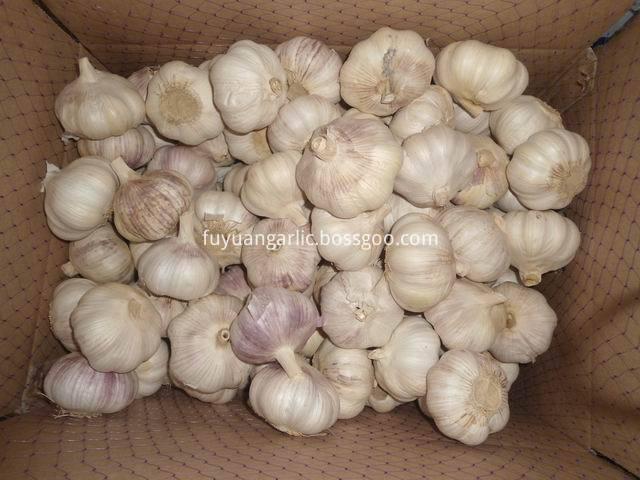 big size garlic 1