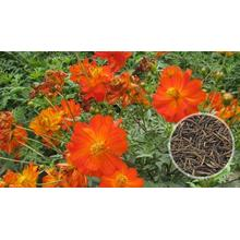 Hot sale cosmos sulphureus flower seeds