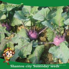 Suntoday netural légumes violet F1 culture de l'agriculture biologique kolhrabi acheter des graines de l'herloom (A44001)