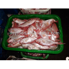 Red Seabream