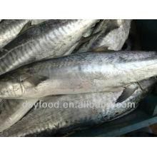 gold supplierFrozen Spanish Mackerel whole round on sale
