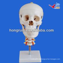 ISO Schädelmodell mit Halswirbelsäule, Anatomisches Schädelmodell
