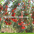 2017 New Harvest Suszone Natrual Goji Berry