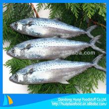 frozen Japanese Spanish mackerel fish