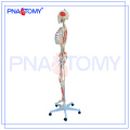 PNT-0103 170cm scientific Human anatomy skeleton Model