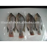 Big Frozen tilapia whole round from China Xiamen