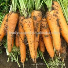 CA01 Lianji cinco polegadas finas sementes de cenoura kuroda para venda