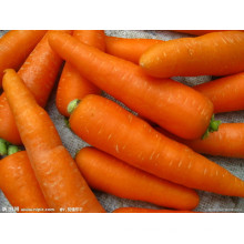 Fresh Carrots with High Quality