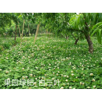 White clover grass seeds cost