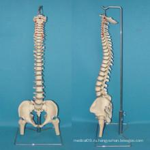 Модель анатомии скелета позвоночника человека для медицинского обучения (R020711)