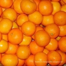 Mandarine chinoise de haute qualité