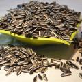 Graines de tournesol non-OGM en coquille