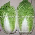 2KG+ fresh chinese cabbage