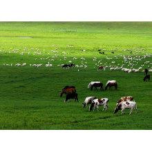 (Flavophospholipol 8%) - Médicaments vétérinaires favorisant la croissance des animaux Flavophospholipol 8%