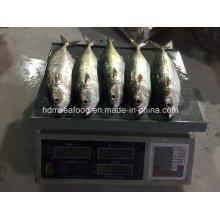 Neue Fisch Indische Makrele (150-200g)