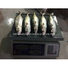 New Fish Indian Mackerel (150-200g)