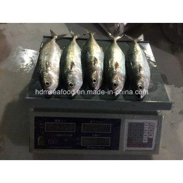 New Fish Indian Mackerel (150-200g)