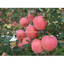 New Crop Carton Packing Sweet Apple