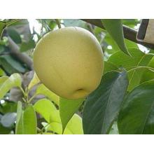 Gute Qualität frische goldene Birne