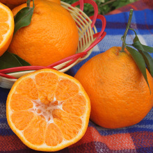 New+crop+baby+mandarin+oranges+price