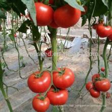 T08 Tina hibrido tomate hibrido chino vegetales semillas para la venta