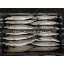 Nouvelle terre poisson Pacific Mackerel (25cm +)