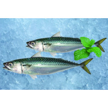 Fresh frozen pacific mackerel