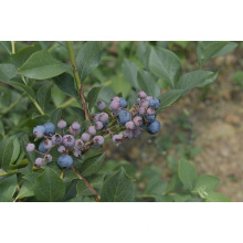 IQF Freezing Organic Blueberry Zl -160004