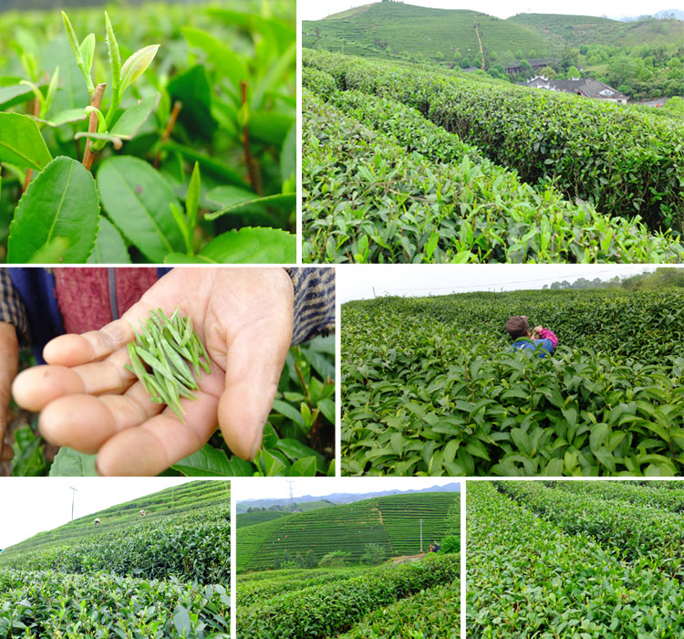 Maojian green tea-3