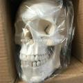 SKELETON10 (12371) Medical Science Full Size 170cm Unassembled Skeleton, Human Artificial Disarticulated Skeleton