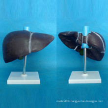Human Liver Anatomy Model with Base for Medical Teaching (R100102)