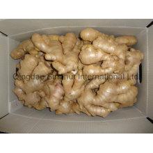 Versorgung Ginger um das Jahr