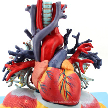 HEART01(12477) Medical Anatomy Transparent Human Anatomical Lung with Heart Model