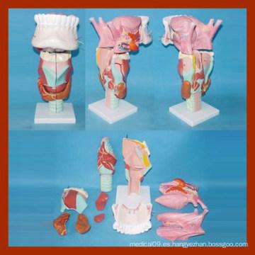 Modelo de Laringe de Laringe Medio con Lengua y Dentición para la Educación