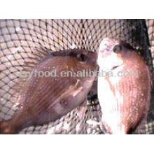 Roter Seabream Fisch