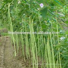 MBE05 Hongzi graine rouge graines de haricot vert longue lumière pour la plantation