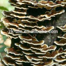 Fabricante orgánico coriolus versicolor polvo de extracto