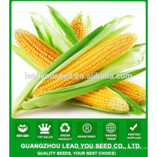 NCO011 Kewei Hybrid quality sweet corn seeds from China