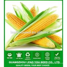 NCO011 Kewei Hybrid qualidade sementes de milho doce da China