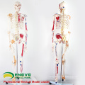 SKELETON08 (12369) Medical Science Nature Life Size 170CM Skeleton with Muscles and Ligaments, 170cm Skeleton Model