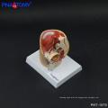 PNT-1570 Mini Männliches Beckenmodell, Deluxe Beckenhöhlenmodell