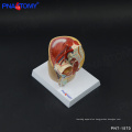 PNT-1570 mini Male Pelvis Model, Deluxe Pelvic Cavity Model