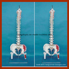 Classic Flexible Spine Model with Femur Heads and Painted Muscles