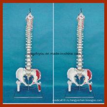 Классическая гибкая модель позвоночника с головками Femur и окрашенными мышцами