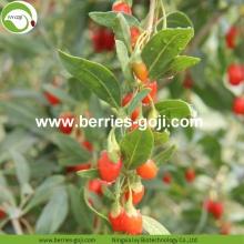 Wholesale Super Food Improve Eyesight Malaysia Wolfberry