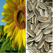 Chinese Sunflower Seed 5009