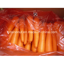 Exporting Indonesia Carrot