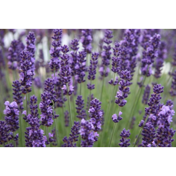 Clary Sage Essential Oil for skin management