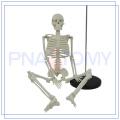Fábrica vender diretamente 85cm modelo de esqueleto fornecedor